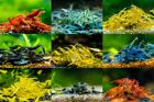 Adult High Quality Neocaridina Shrimp Skittle Pack Mixed Colors FREE SHIPPING