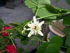 Passiflora morifolia Woodland Passion Flower PLANT for butterflies free shipping