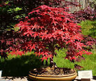 3000 Seeds 100 grams Japanese Red Maple Acer palmatum Bonsai Tree Seed Wholesale