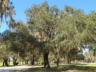 LIVE OAK TREE QUERCUS VIRGINIANA GUARANTEED LIVE PLANT