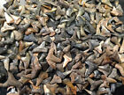 LOT OF 30 SHARK TEETH FOSSILS Tiger Blue Mako Lemon Thresher