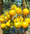 Extremely Rare Tomato ANNA HERMANN 100 Russian Heirloom Organic Seeds-BULK
