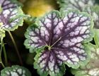 Fancy-leaf Coral Bells,Heuchera americana Marvelous Marble,Perennial, Zone: 4-9
