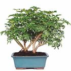 Brussels Hawaiian Umbrella Tree Bonsai New Free Shipping