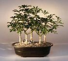 Hawaiian Umbrella Bonsai Tree Five Tree Forest Group each 6 8 years old 10 11