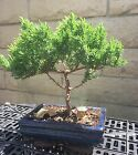 Japanese Juniper Bonsai Tree w 2 Ceramic Decorations Indoor Outdoor Plant
