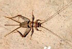Live Crickets 500 Count All Sizes 1549 Free Shipping Bulk Insects
