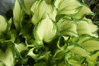 HOSTA BICOLOR 100 SEEDS, A MIX OF GREEN AND WHITE LEAVES, LARGE AND SMALL