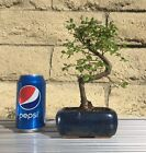 Japanese Elm Bonsai Tree 7 Years Old Real Bonsai