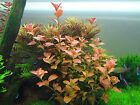 Ludwigia Repens Ovalis Live Aquarium Plants Freshwater Decorations