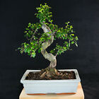 Chinese Elm Kifu Bonsai Tree Ulmus parvifolia  2336