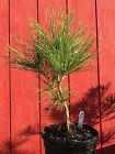 Mikawa Japanese Black pine Pre Bonsai 120