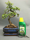 Chinese Elm Indoor Bonsai Tree S Trunk 20 25cm plus Gift Set and FREE P