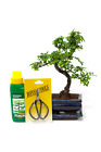 Chinese Elm Indoor Bonsai Tree S Trunk 25 30cm Gift Set and FREE P
