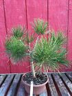 Mikawa Japanese Black pine Pre Bonsai 189
