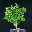 Dwarf Japanese Boxwood Pre Bonsai Tree  1408