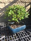 Sageretia Bonsai Tree Bird Plum Tree 8 Years Old Real Bonsai