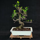 Taiwanese Ficus Kifu Bonsai Tree Tiger Bark  2478