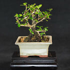 Chinese Fukien Tea Mame Shohin Bonsai Tree Carmona Microphylla  2565