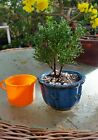 4 Mame shimpaku juniper pre bonsai plants