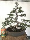 Chinese Elm Bonsai  Low Reserved