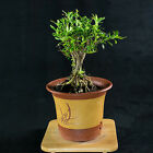 Serissa Foetida Japonica Shohin Bonsai Tree Tree of a Thousand Stars  2682