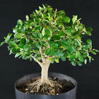 Dwarf Japanese Boxwood Pre Shohin Bonsai Tree  2552