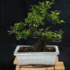 Sageretia Theezans Shohin Bonsai Tree Bird Plum  2692