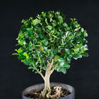 Dwarf Japanese Boxwood Pre Shohin Bonsai Tree  2549