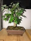 Kaede Trident Maple Bonsai Dwarf Shohin mame Nice Movement very old pot