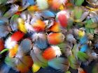 100 Small Multi Colored Parrot Feathers Macaw Bird Fly Tying