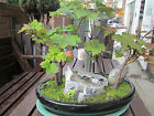 Bonsai forest  Table trees  5 trees all 7 years old  collect IG10
