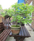 Bonsai Tree  32 years old  60cm tall selling more trees today collect IG10