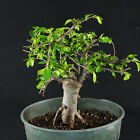 Chinese Tiny Leaves Elm Pre Shohin Bonsai Material Ulmus parvifolia  2624
