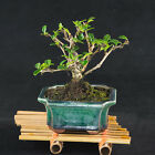 Chinese Fukien Tea Mame Shohin Bonsai Tree Carmona Microphylla  2589