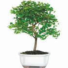 Jaboticaba Potted Bonsai Tree Lovely Housewarming Gift Cinnamon Colored Bark