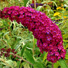 BUTTERFLY BUSH RED 233+ SEEDS BEAUTIFULLY SCENTED FLOWERS FAST GROWING