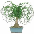 RARE Live Ponytail Palm Bonsai Tree Indoor Home Forest Garden Plant Evergreen