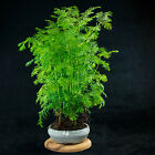 Chinese Dawn Redwood Shohin Bonsai Tree Metasequoia glyptostroboides  3260