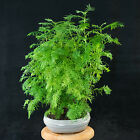 Chinese Dawn Redwood Shohin Bonsai Tree Metasequoia glyptostroboides  3513