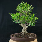 Amazing Large Taiwanese Ficus Bonsai Tree Tiger Bark  3582