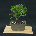 Chinese Sageretia Theezans Mame Shohin Bonsai Tree Bird Plum  3361