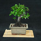 Chinese Sageretia Theezans Mame Shohin Bonsai Tree Bird Plum  3358