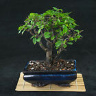 Sageretia Theezans Shohin Bonsai Tree Bird Plum  3408