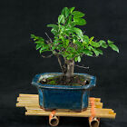 Chinese Sageretia Theezans Mame Shohin Bonsai Tree Bird Plum  3181