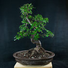 Amazing Large Chinese Elm Bonsai Tree Ulmus parvifolia  3743