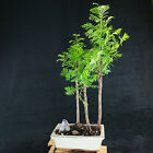 Chinese Dawn Redwood Shohin Bonsai Tree Metasequoia glyptostroboides  3064
