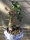 Chinese Elm Bonsai Tree small but thick trunk