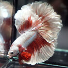 Live Betta Fish Male RED COPPER BUTTERFLY Rosetail Halfmoon