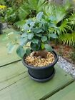 Bonsai Ficus potted As Pictured live House plant 3